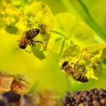 Перга или пчелиный хлеб, чем она полезна для мужчин и женщин