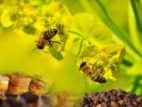 Перга-пчелиный хлеб