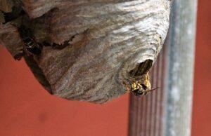 Гнездо осы