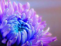 Хризантемы цветы долгой жизни и время жизни