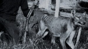 Тасманийский волк и хронология событий человека и тасманийского сумчатого волка